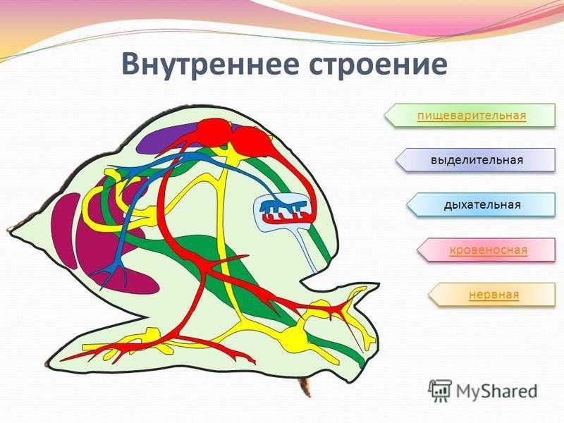 Внутреннее строение выделительная пищеварительная нервная дыхательная кровеносная