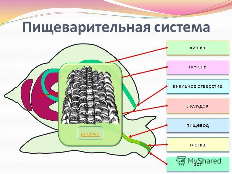 Пищеварительная система рот глотка пищевод желудок печень кишка анальное отверстие радула
