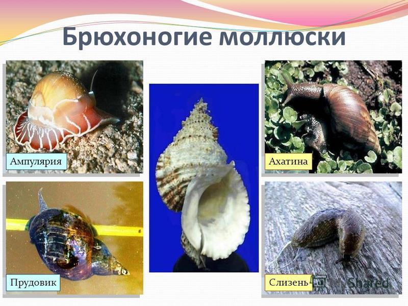 Брюхоногие моллюски Ампулярия Слизень Прудовик Ахатина