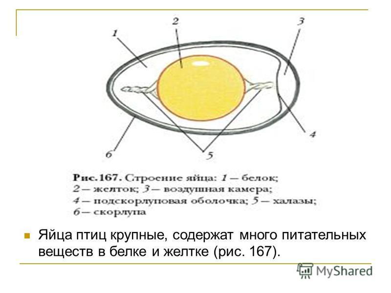 Яйца птиц крупные, содержат много питательных веществ в белке и желтке (рис. 167).