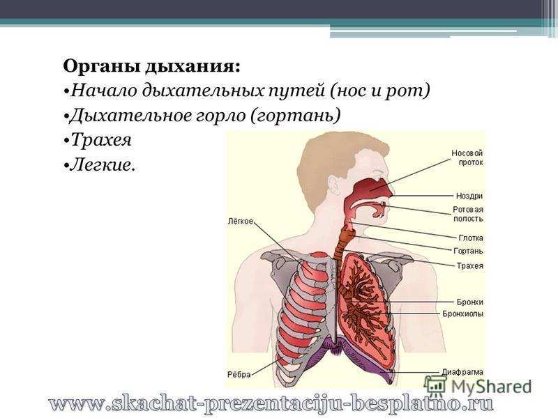 Органы дыхания: Начало дыхательных путей (нос и рот) Дыхательное горло (гортань) Трахея Легкие.