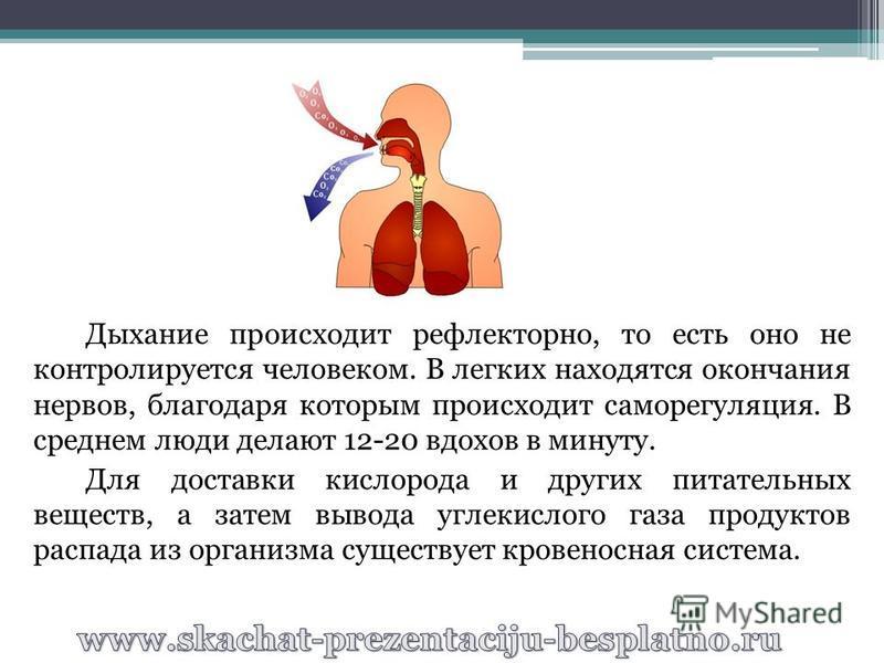 Дыхание происходит рефлекторно, то есть оно не контролируется человеком. В легких находятся окончания нервов, благодаря которым происходит саморегуляция. В среднем люди делают 12-20 вдохов в минуту. Для доставки кислорода и других питательных веществ
