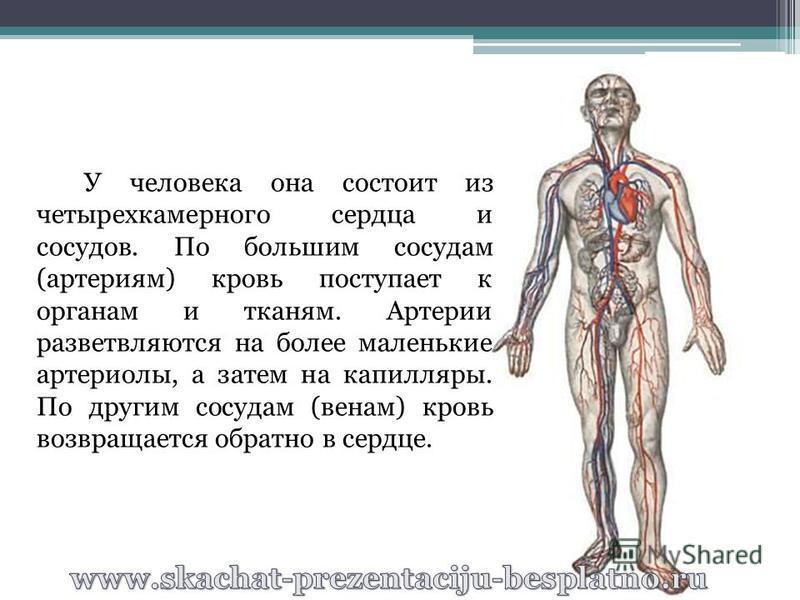 У человека она состоит из четырехкамерного сердца и сосудов. По большим сосудам (артериям) кровь поступает к органам и тканям. Артерии разветвляются на более маленькие артериолы, а затем на капилляры. По другим сосудам (венам) кровь возвращается обра