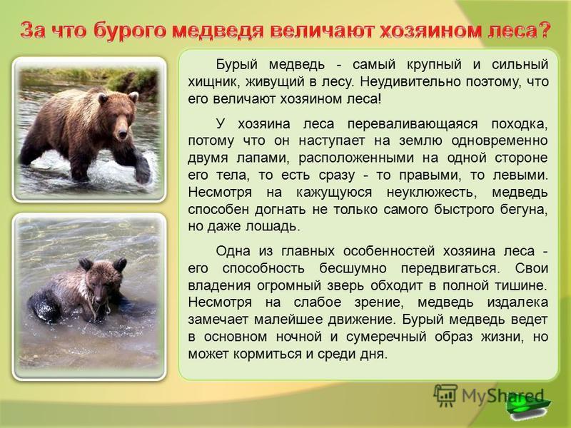 Бурый медведь - самый крупный и сильный хищник, живущий в лесу. Неудивительно поэтому, что его величают хозяином леса! У хозяина леса переваливающаяся походка, потому что он наступает на землю одновременно двумя лапами, расположенными на одной сторон