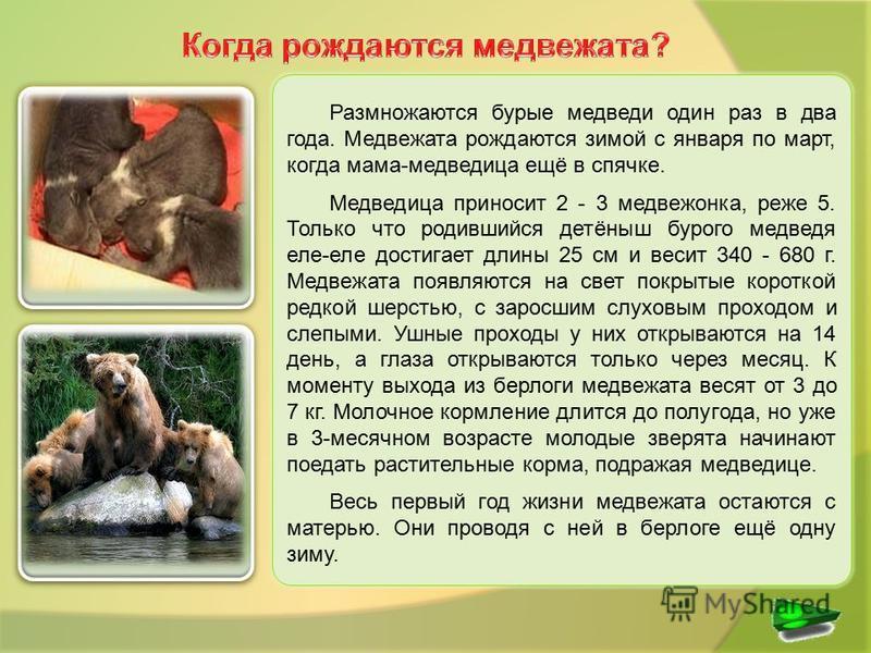 Размножаются бурые медведи один раз в два года. Медвежата рождаются зимой с января по март, когда мама-медведица ещё в спячке. Медведица приносит 2 - 3 медвежонка, реже 5. Только что родившийся детёныш бурого медведя еле-еле достигает длины 25 см и в