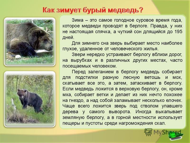 Зима – это самое голодное суровое время года, которое медведи проводят в берлоге. Правда, у них не настоящая спячка, а чуткий сон длящийся до 195 дней. Для зимнего сна зверь выбирает место наиболее глухое, удаленное от человеческого жилья. Звери нере