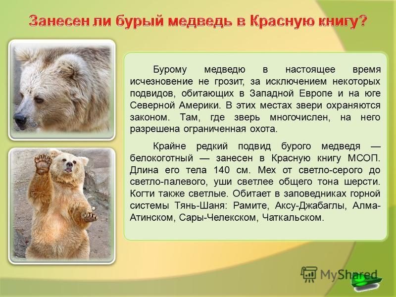 Бурому медведю в настоящее время исчезновение не грозит, за исключением некоторых подвидов, обитающих в Западной Европе и на юге Северной Америки. В этих местах звери охраняются законом. Там, где зверь многочислен, на него разрешена ограниченная охот
