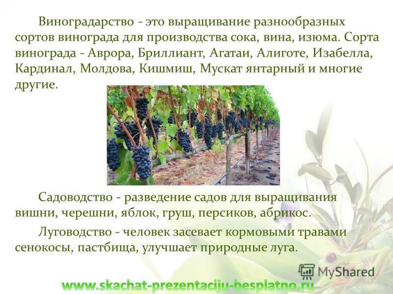 Виноградарство - это выращивание разнообразных сортов винограда для производства сока, вина, изюма. Сорта винограда - Аврора, Бриллиант, Агатаи, Алиготе, Изабелла, Кардинал, Молдова, Кишмиш, Мускат янтарный и многие другие. Садоводство - разведение с