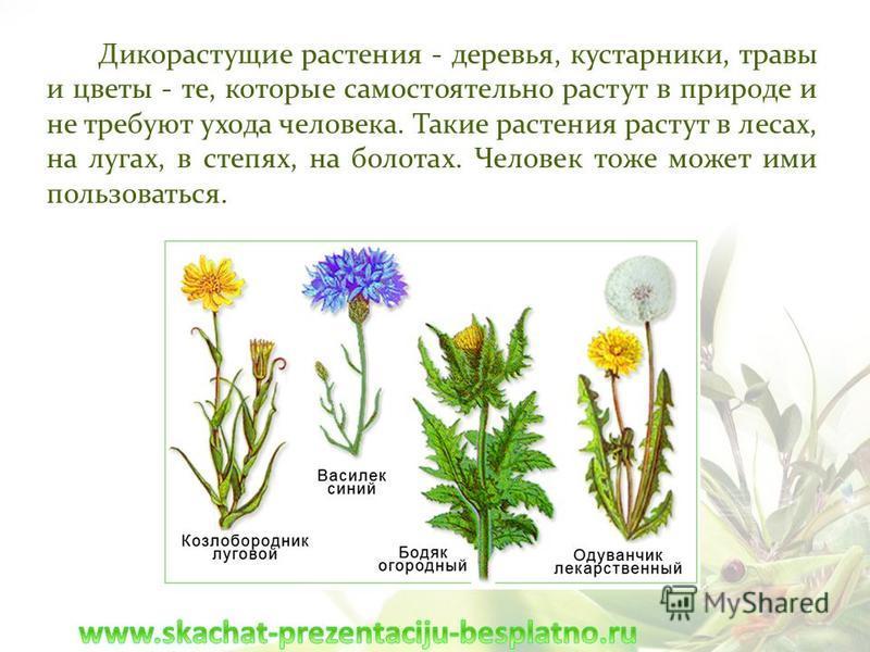 Дикорастущие растения - деревья, кустарники, травы и цветы - те, которые самостоятельно растут в природе и не требуют ухода человека. Такие растения растут в лесах, на лугах, в степях, на болотах. Человек тоже может ими пользоваться.