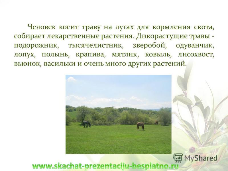 Человек косит траву на лугах для кормления скота, собирает лекарственные растения. Дикорастущие травы - подорожник, тысячелистник, зверобой, одуванчик, лопух, полынь, крапива, мятлик, ковыль, лисохвост, вьюнок, васильки и очень много других растений.
