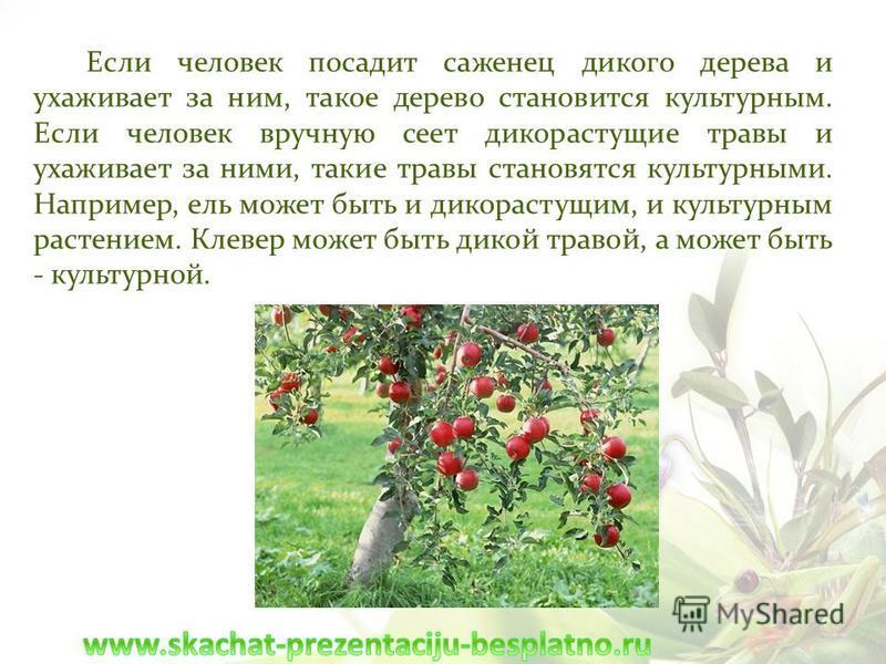 Если человек посадит саженец дикого дерева и ухаживает за ним, такое дерево становится культурным. Если человек вручную сеет дикорастущие травы и ухаживает за ними, такие травы становятся культурными. Например, ель может быть и дикорастущим, и культу
