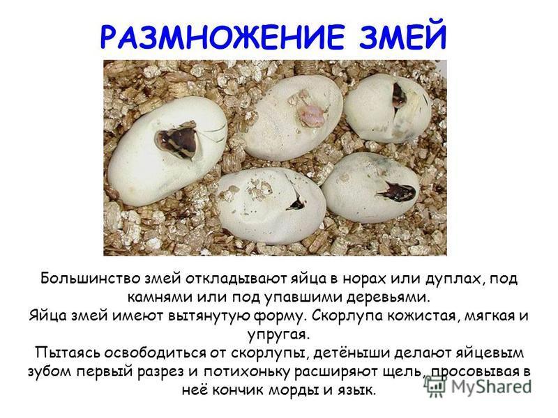 РАЗМНОЖЕНИЕ ЗМЕЙ Большинство змей откладывают яйца в норах или дуплах, под камнями или под упавшими деревьями. Яйца змей имеют вытянутую форму. Скорлупа кожистая, мягкая и упругая. Пытаясь освободиться от скорлупы, детёныши делают яйцевым зубом первы