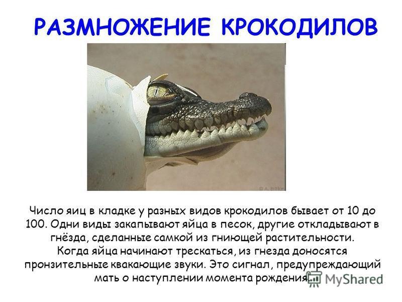 РАЗМНОЖЕНИЕ КРОКОДИЛОВ Число яиц в кладке у разных видов крокодилов бывает от 10 до 100. Одни виды закапывают яйца в песок, другие откладывают в гнёзда, сделанные самкой из гниющей растительности. Когда яйца начинают трескаться, из гнезда доносятся п