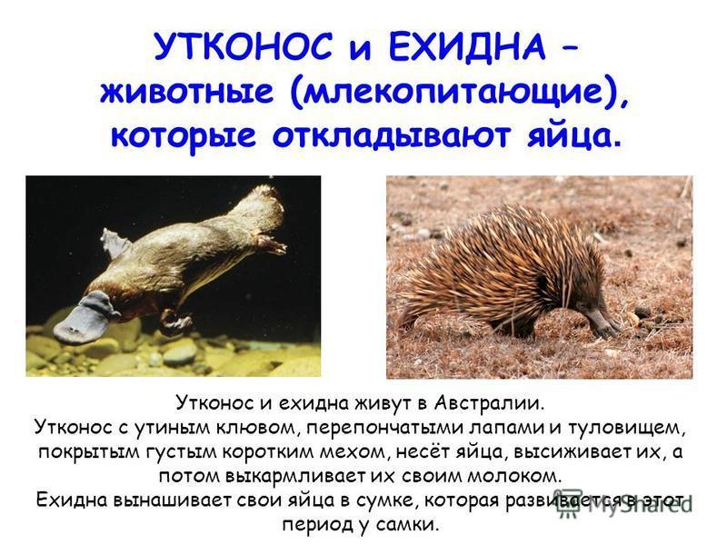 УТКОНОС и ЕХИДНА – животные (млекопитающие), которые откладывают яйца. Утконос и ехидна живут в Австралии. Утконос с утиным клювом, перепончатыми лапами и туловищем, покрытым густым коротким мехом, несёт яйца, высиживает их, а потом выкармливает их с