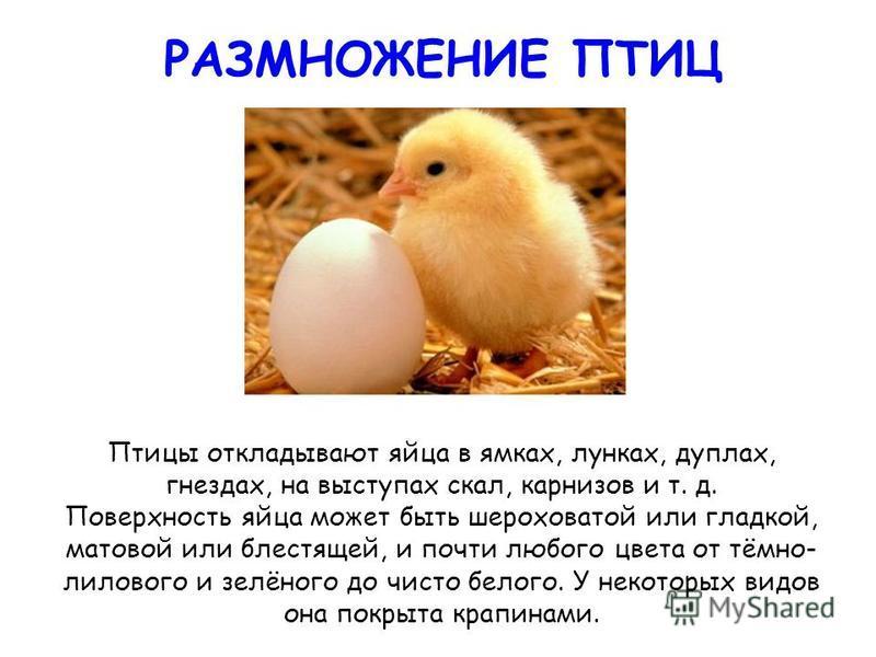 РАЗМНОЖЕНИЕ ПТИЦ Птицы откладывают яйца в ямках, лунках, дуплах, гнездах, на выступах скал, карнизов и т. д. Поверхность яйца может быть шероховатой или гладкой, матовой или блестящей, и почти любого цвета от тёмно- лилового и зелёного до чисто белог
