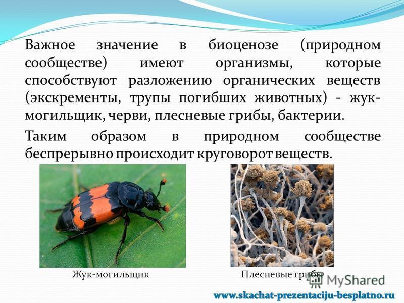 Важное значение в биоценозе (природном сообществе) имеют организмы, которые способствуют разложению органических веществ (экскременты, трупы погибших животных) - жук- могильщик, черви, плесневые грибы, бактерии. Таким образом в природном сообществе б