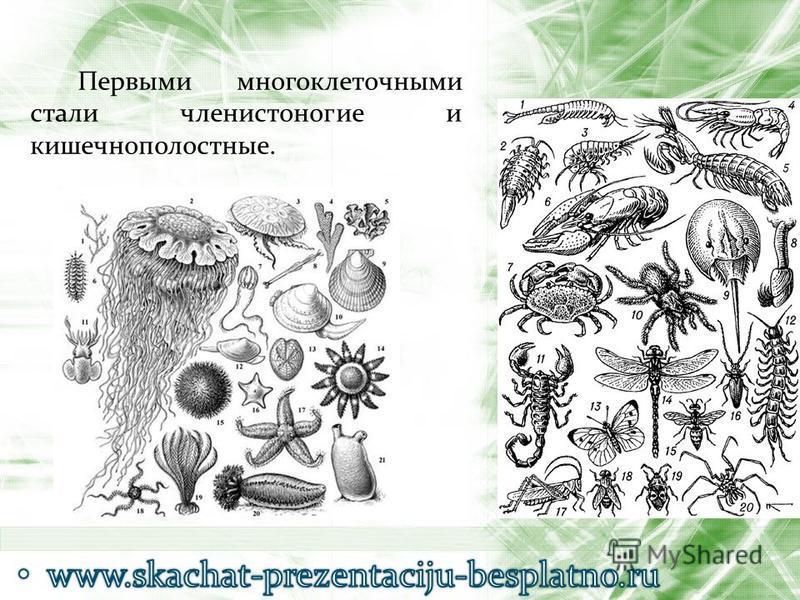 Первыми многоклеточными стали членистоногие и кишечнополостные.