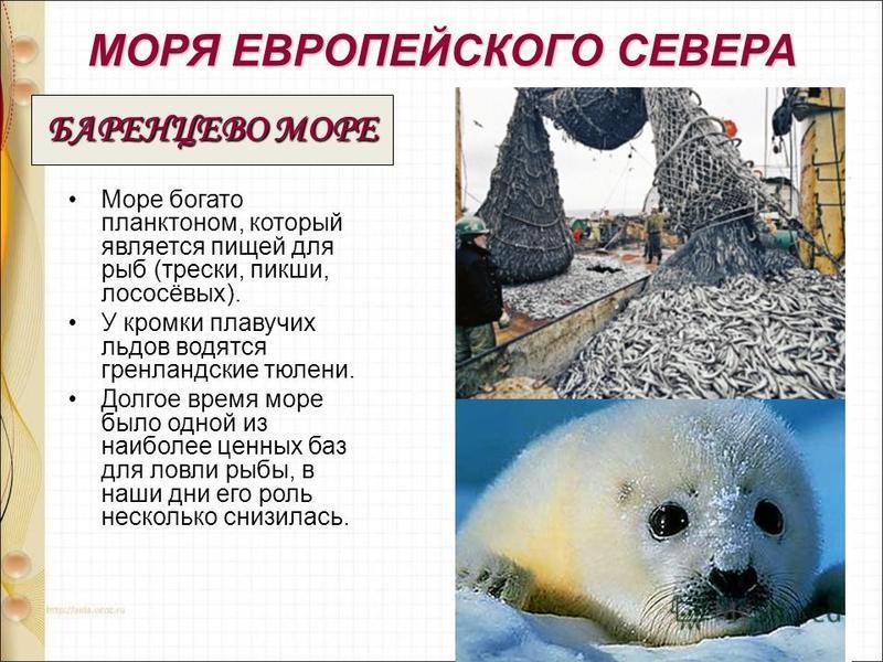 МОРЯ ЕВРОПЕЙСКОГО СЕВЕРА Море богато планктоном, который является пищей для рыб (трески, пикши, лососёвых). У кромки плавучих льдов водятся гренландские тюлени. Долгое время море было одной из наиболее ценных баз для ловли рыбы, в наши дни его роль н