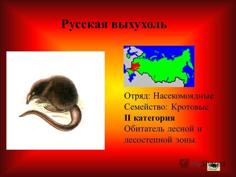 Отряд: Насекомоядные Семейство: Кротовые II категория Обитатель лесной и лесостепной зоны. Русская выхухоль