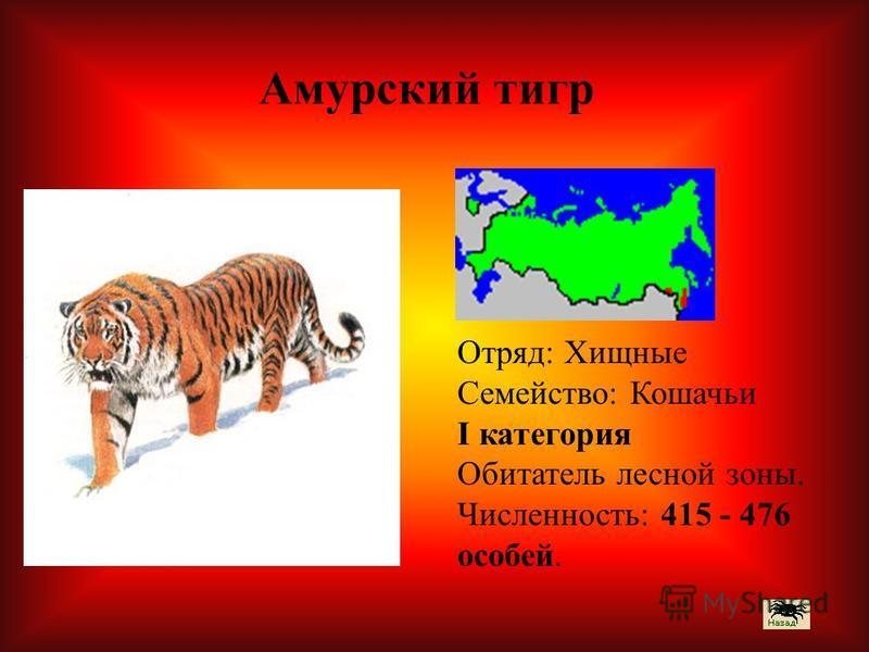 Отряд: Хищные Семейство: Кошачьи I категория Обитатель лесной зоны. Численность: 415 - 476 особей. Амурский тигр