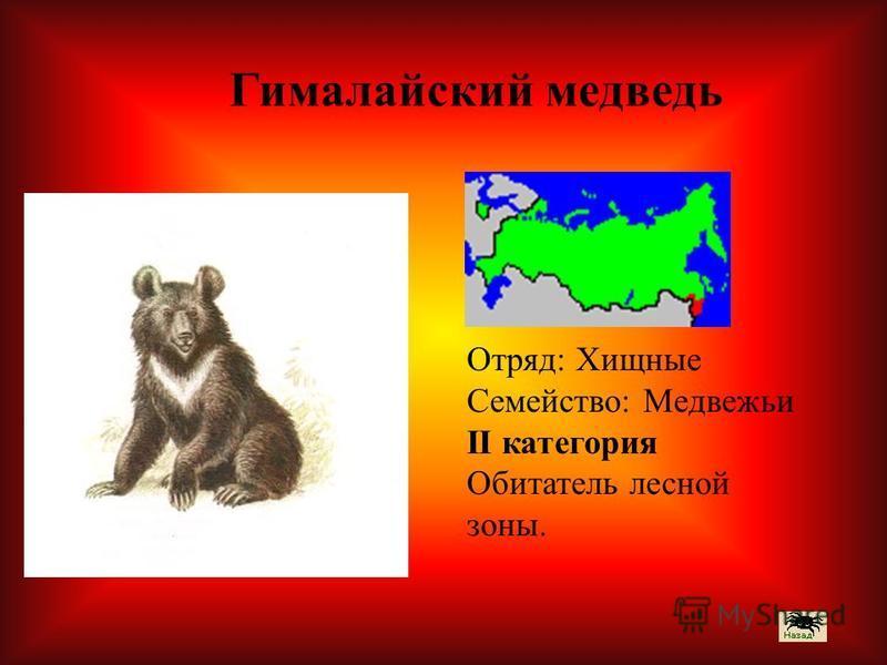 Отряд: Хищные Семейство: Медвежьи II категория Обитатель лесной зоны. Гималайский медведь