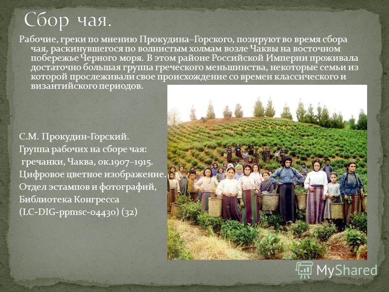 Рабочие, греки по мнению Прокудина–Горского, позируют во время сбора чая, раскинувшегося по волнистым холмам возле Чаквы на восточном побережье Черного моря. В этом районе Российской Империи проживала достаточно большая группа греческого меньшинства,