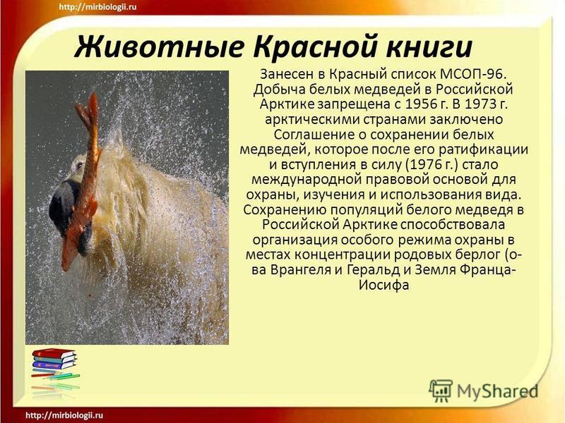 Животные Красной книги Занесен в Красный список МСОП-96. Добыча белых медведей в Российской Арктике запрещена с 1956 г. В 1973 г. арктическими странами заключено Соглашение о сохранении белых медведей, которое после его ратификации и вступления в сил