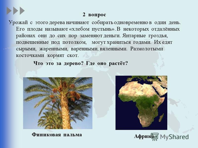 2 вопрос Урожай с этого дерева начинают собирать одновременно в один день. Его плоды называют «хлебом пустынь». В некоторых отдалённых районах они до сих пор заменяют деньги. Янтарные гроздья, подвешенные под потолком, могут храниться годами. Их едят