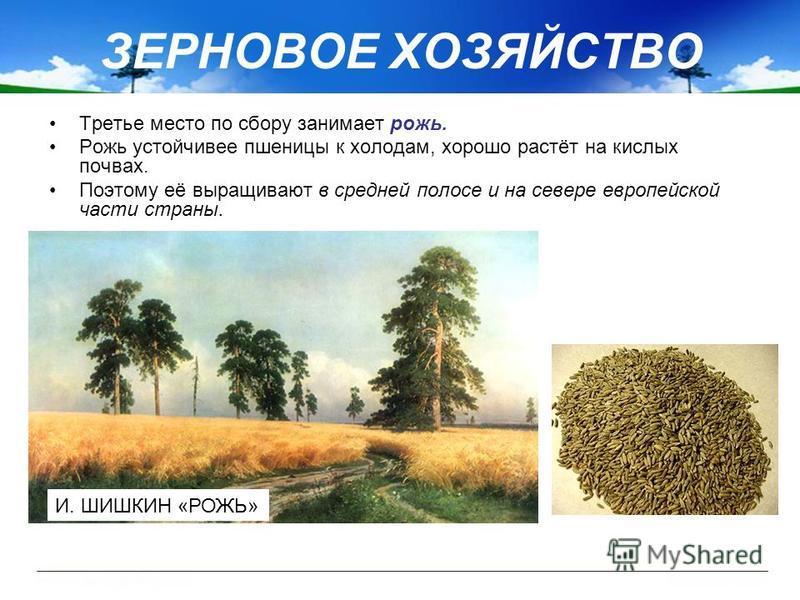 ЗЕРНОВОЕ ХОЗЯЙСТВО Третье место по сбору занимает рожь. Рожь устойчивее пшеницы к холодам, хорошо растёт на кислых почвах. Поэтому её выращивают в средней полосе и на севере европейской части страны. И. ШИШКИН «РОЖЬ»