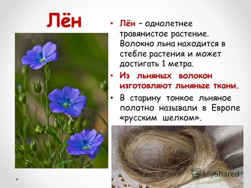 Лён Лён – однолетнее травянистое растение. Волокно льна находится в стебле растения и может достигать 1 метра. Из льняных волокон изготовляют льняные ткани. В старину тонкое льняное полотно называли в Европе «русским шелком».