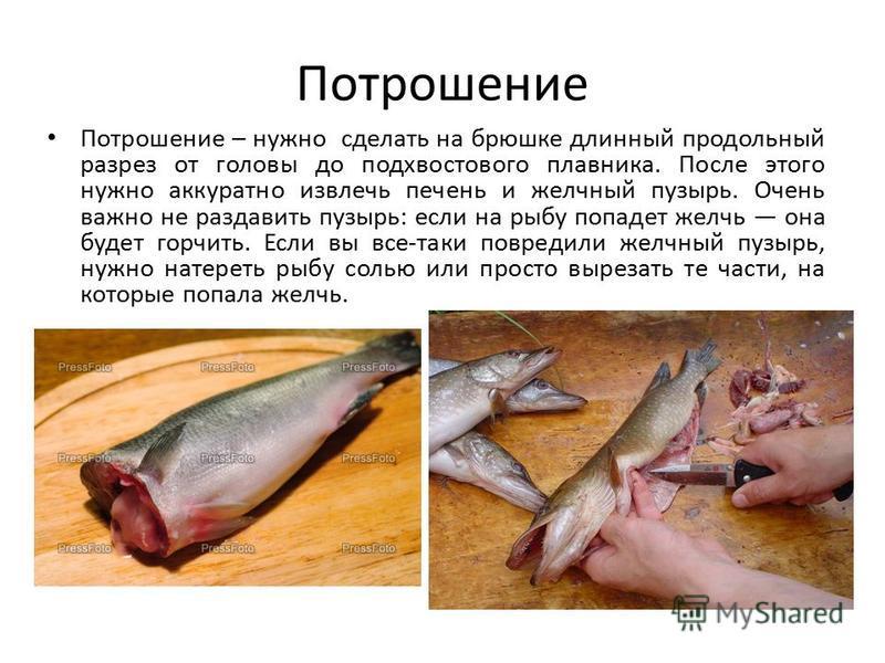 Потрошение Потрошение – нужно сделать на брюшке длинный продольный разрез от головы до подхвостового плавника. После этого нужно аккуратно извлечь печень и желчный пузырь. Очень важно не раздавить пузырь: если на рыбу попадет желчь она будет горчить.