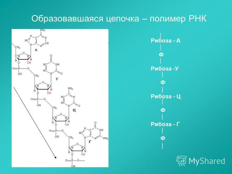 Образовавшаяся цепочка – полимер РНК Рибоза - А Ф Рибоза -У Ф Рибоза - Ц Ф Рибоза - Г Ф