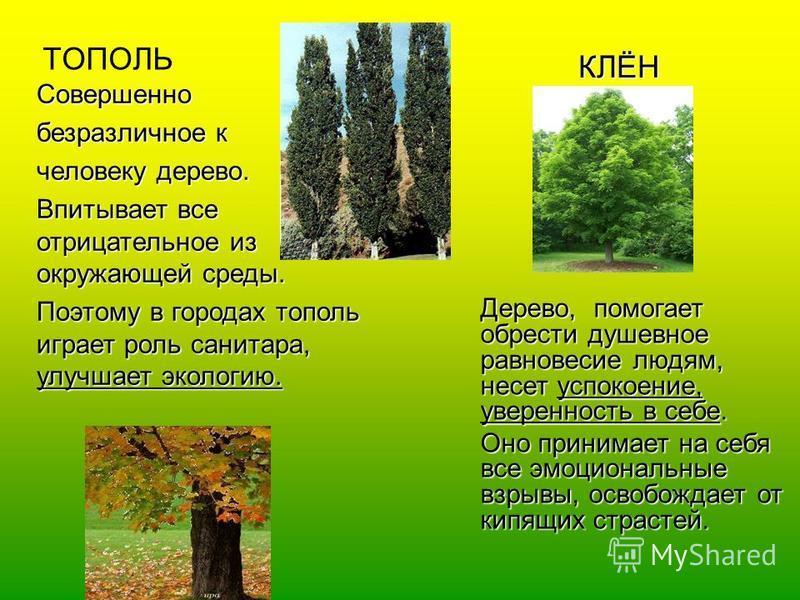 ТОПОЛЬ Совершенно безразличное к человеку дерево. Впитывает все отрицательное из окружающей среды. Поэтому в городах тополь играет роль санитара, улучшает экологию. КЛЁН Дерево, помогает обрести душевное равновесие людям, несет успокоение, уверенност