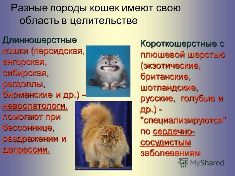 Разные породы кошек имеют свою область в целительстве Длинношерстные кошки (персидская, ангорская, сибирская, рэгдоллы, бирманские и др.) – невропатологи, помогают при бессоннице, раздражении и депрессии. Короткошерстные с плюшевой шерстью (экзотичес