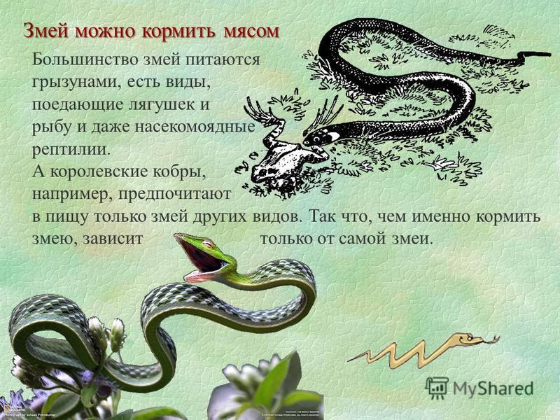 Змей можно кормить мясом Большинство змей питаются грызунами, есть виды, поедающие лягушек и рыбу и даже насекомоядные рептилии. А королевские кобры, например, предпочитают в пищу только змей других видов. Так что, чем именно кормить змею, зависит то