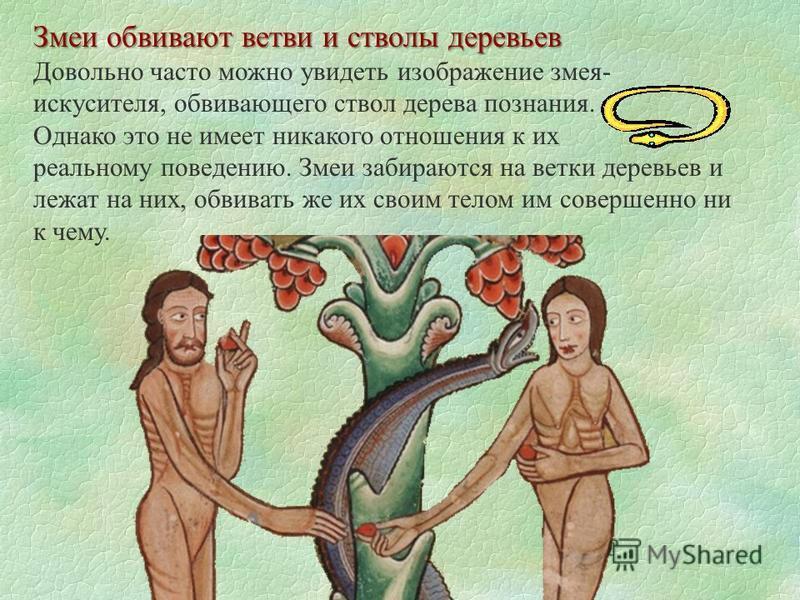 Змеи обвивают ветви и стволы деревьев Довольно часто можно увидеть изображение змея- искусителя, обвивающего ствол дерева познания. Однако это не имеет никакого отношения к их реальному поведению. Змеи забираются на ветки деревьев и лежат на них, обв