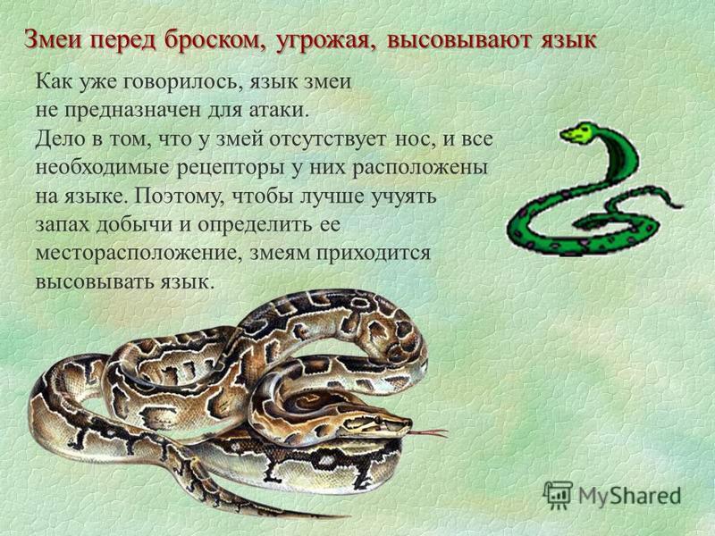 Змеи перед броском, угрожая, высовывают язык Как уже говорилось, язык змеи не предназначен для атаки. Дело в том, что у змей отсутствует нос, и все необходимые рецепторы у них расположены на языке. Поэтому, чтобы лучше учуять запах добычи и определит