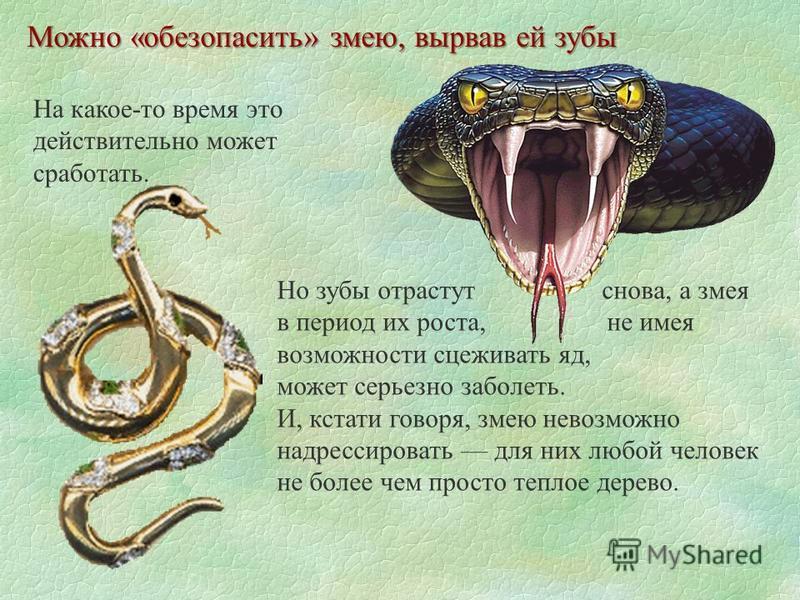 Можно «обезопасить» змею, вырвав ей зубы На какое-то время это действительно может сработать. Но зубы отрастут снова, а змея в период их роста, не имея возможности сцеживать яд, может серьезно заболеть. И, кстати говоря, змею невозможно надрессироват