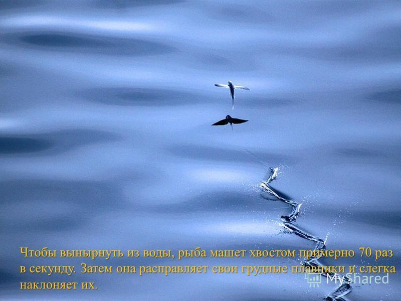 Чтобы вынырнуть из воды, рыба машет хвостом примерно 70 раз в секунду. Затем она расправляет свои грудные плавники и слегка наклоняет их.