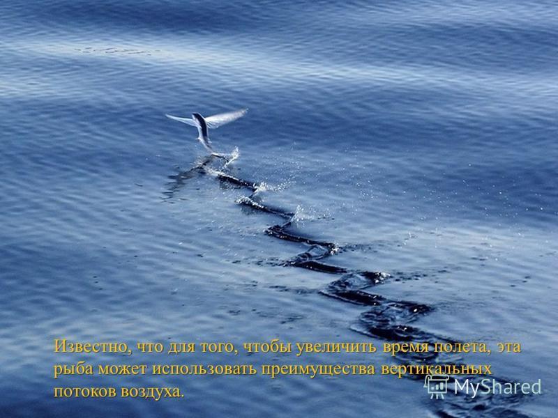 Известно, что для того, чтобы увеличить время полета, эта рыба может использовать преимущества вертикальных потоков воздуха.
