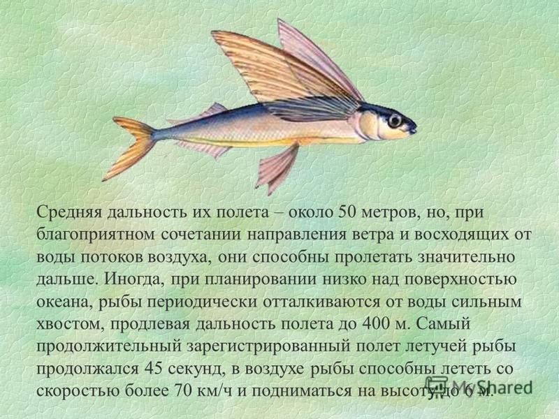 Средняя дальность их полета – около 50 метров, но, при благоприятном сочетании направления ветра и восходящих от воды потоков воздуха, они способны пролетать значительно дальше. Иногда, при планировании низко над поверхностью океана, рыбы периодическ