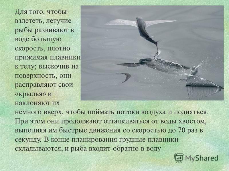Для того, чтобы взлететь, летучие рыбы развивают в воде большую скорость, плотно прижимая плавники к телу; выскочив на поверхность, они расправляют свои «крылья» и наклоняют их немного вверх, чтобы поймать потоки воздуха и подняться. При этом они про