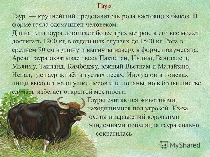 Гаур крупнейший представитель рода настоящих быков. В форме гаяла одомашнен человеком. Длина тела гаура достигает более трёх метров, а его вес может достигать 1200 кг, в отдельных случаях до 1500 кг. Рога в среднем 90 см в длину и выгнуты наверх в фо