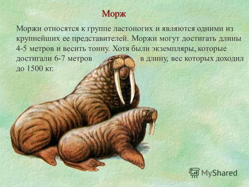 Моржи относятся к группе ластоногих и являются одними из крупнейших ее представителей. Моржи могут достигать длины 4-5 метров и весить тонну. Хотя были экземпляры, которые достигали 6-7 метров в длину, вес которых доходил до 1500 кг. Морж