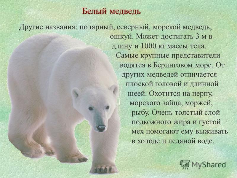 Белый медведь Другие названия: полярный, северный, морской медведь, ушкуй. Может достигать 3 м в длину и 1000 кг массы тела. Самые крупные представители водятся в Беринговом море. От других медведей отличается плоской головой и длинной шеей. Охотится