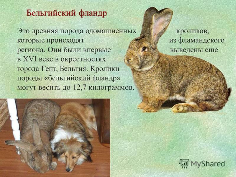 Это древняя порода одомашненных кроликов, которые происходят из фламандского региона. Они были впервые выведены еще в XVI веке в окрестностях города Гент, Бельгия. Кролики породы «бельгийский фландр» могут весить до 12,7 килограммов. Бельгийский флан