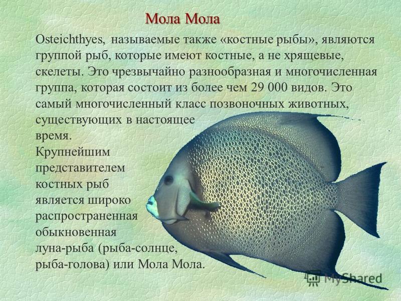 Мола Мола Osteichthyes, называемые также «костные рыбы», являются группой рыб, которые имеют костные, а не хрящевые, скелеты. Это чрезвычайно разнообразная и многочисленная группа, которая состоит из более чем 29 000 видов. Это самый многочисленный к