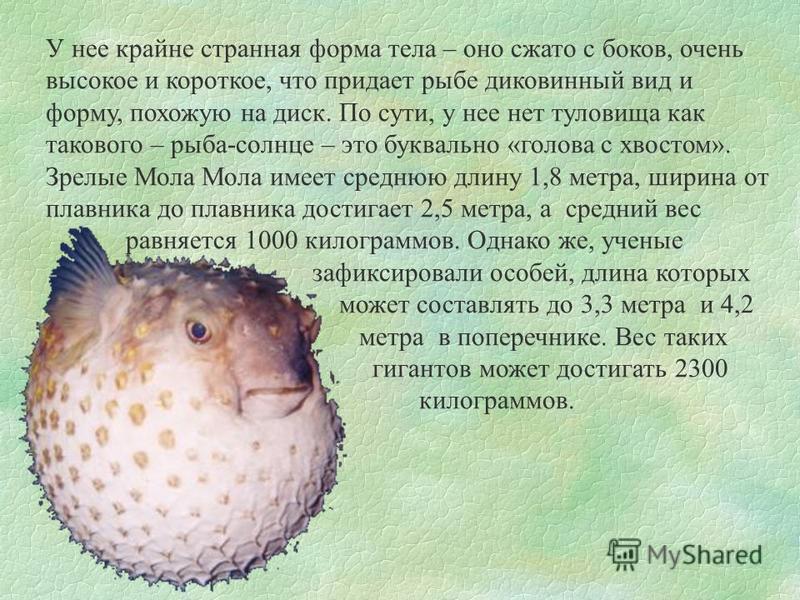 У нее крайне странная форма тела – оно сжато с боков, очень высокое и короткое, что придает рыбе диковинный вид и форму, похожую на диск. По сути, у нее нет туловища как такового – рыба-солнце – это буквально «голова с хвостом». Зрелые Мола Мола имее