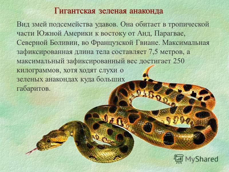 Гигантская зеленая анаконда Вид змей подсемейства удавов. Она обитает в тропической части Южной Америки к востоку от Анд, Парагвае, Северной Боливии, во Французской Гвиане. Максимальная зафиксированная длина тела составляет 7,5 метров, а максимальный