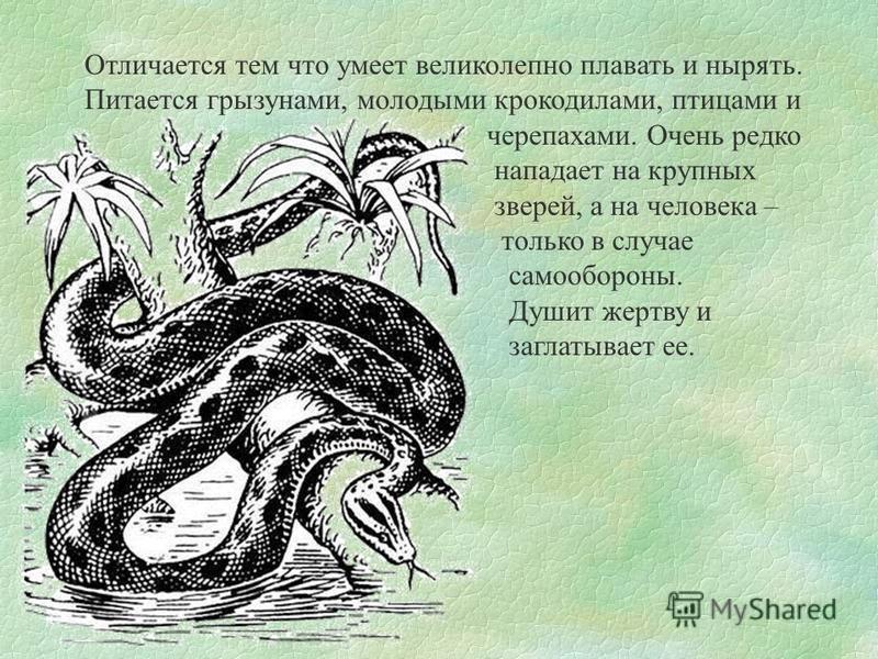 Отличается тем что умеет великолепно плавать и нырять. Питается грызунами, молодыми крокодилами, птицами и черепахами. Очень редко нападает на крупных зверей, а на человека – только в случае самообороны. Душит жертву и заглатывает ее.